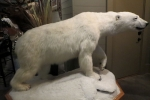 Artic Polar Bear