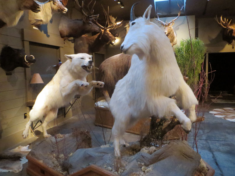 Artic Wolf and Rocky Mountain Goat